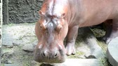 nature reserve : Hippopotamus find food on the floor.