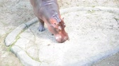 nílus : Hippopotamus find food on the floor.