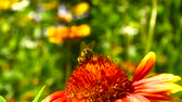 bumbum : Bee takes off from a red flower