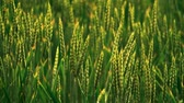 рожь : Heavy rain over the field. Young green wheat germ. Close-up of wheat germ. Raindrop. Beautiful landscape. Countryside. 100 fps. Slow motion.