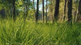 ladrão : beautiful view of the grass and trees in the forest in summer Stock Footage