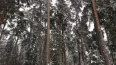 леса : Snow falls in the winter pine forest, Russia