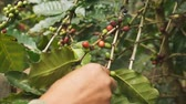 doi chang : Picking coffee Stock Footage