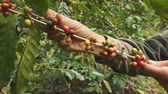 coffee picking : Picking coffee Stock Footage