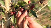 coffee picking : Picking coffee beans