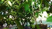 coffee cherry : Coffee Plant growing