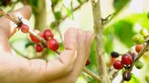 doi chang : Picking coffee berry on tree,Slow motion Stock Footage