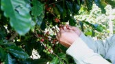 coffee picking : Picking coffee berry on tree