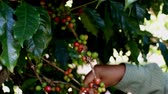 doi chang : Picking coffee berry on tree