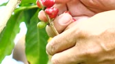 doi chang : Picking coffee beans,4k
