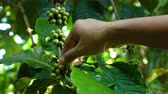 doi chang : Hand picking coffee berry