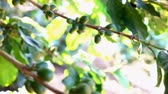 coffee cherry : Coffee bean on tree,Dolly shot