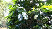 coffee cherries : Coffee bean on tree,Dolly shot