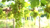 vintage : Bunches of Grapes Hanging in Vineyard,Slow motion