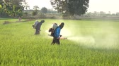plant fertilizer : Farmer spraying pesticide in rice field
