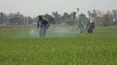 pesticide : Farmer spraying pesticide in rice field