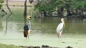feathering : Grey Crowned Crane Birds Stock Footage