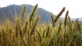 grain growing : Barley in the field slow motion Stock Footage