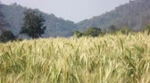 grain growing : Barley in the field