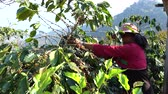 green coffee beans : Picking coffee bean