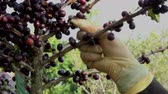 coffee growing : Picking coffee bean