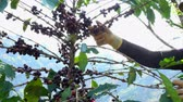 coffee picking : Picking coffee bean