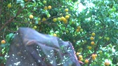 coletar : Harvesting plum on tree