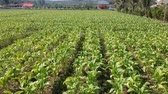 cigar : Aerial view of tobacco field Stock Footage