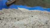 coffee farmers : Drying coffee bean