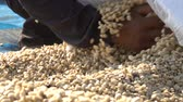 green coffee beans : Harvesting coffee bean slow motion Stock Footage