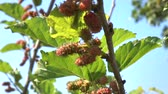 dut : Mulberry on tree slow motion