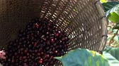 coffee growing : Picking coffee bean slow motion