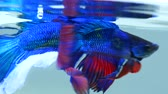 fins : Siamese Fighting Fish