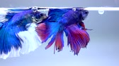 siyam : Siamese Fighting Fish