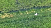 agronomist : Aerial view of researcher in the jasmine rice field Stock Footage