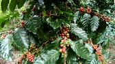coffee picking : Coffee berry on tree in slow motion