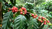 pieczeń : Coffee berry on tree in slow motion