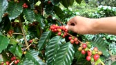 coffee picking : Picking coffee berry on tree in slow motion