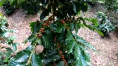 coffee growing : Coffee berry on tree in slow motion