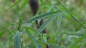 hemp : Marijuana in the plant Stock Footage