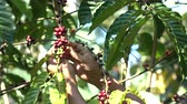 green coffee beans : Coffee bean on tree agriculture background