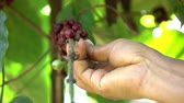 Hand picking coffee bean on tree