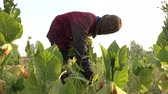 produccion : Agricultor cosechando hoja de tabaco en la planta. Archivo de Video