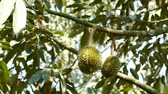 plant health : Durian in the plant Stock Footage
