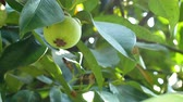Green mangosteen in the plant 動画素材
