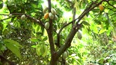 Куба : Cocoa fruit on tree agriculture background