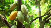 küba : Cocoa fruit on tree agriculture background