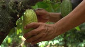 Куба : Hand harvesting cocoa fruit from tree