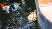 жаба : frog or Argentine horned frog swimming in fancy carp pool Стоковые видеозаписи