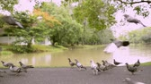 plantas : Doves in public park near natural pond, Birds are walking and flying together.